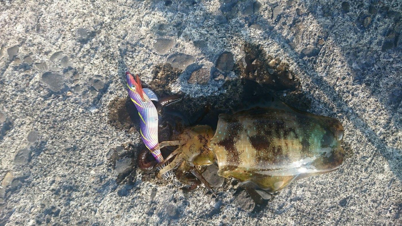 ミットシーさんの投稿画像,写っている魚はアオリイカ