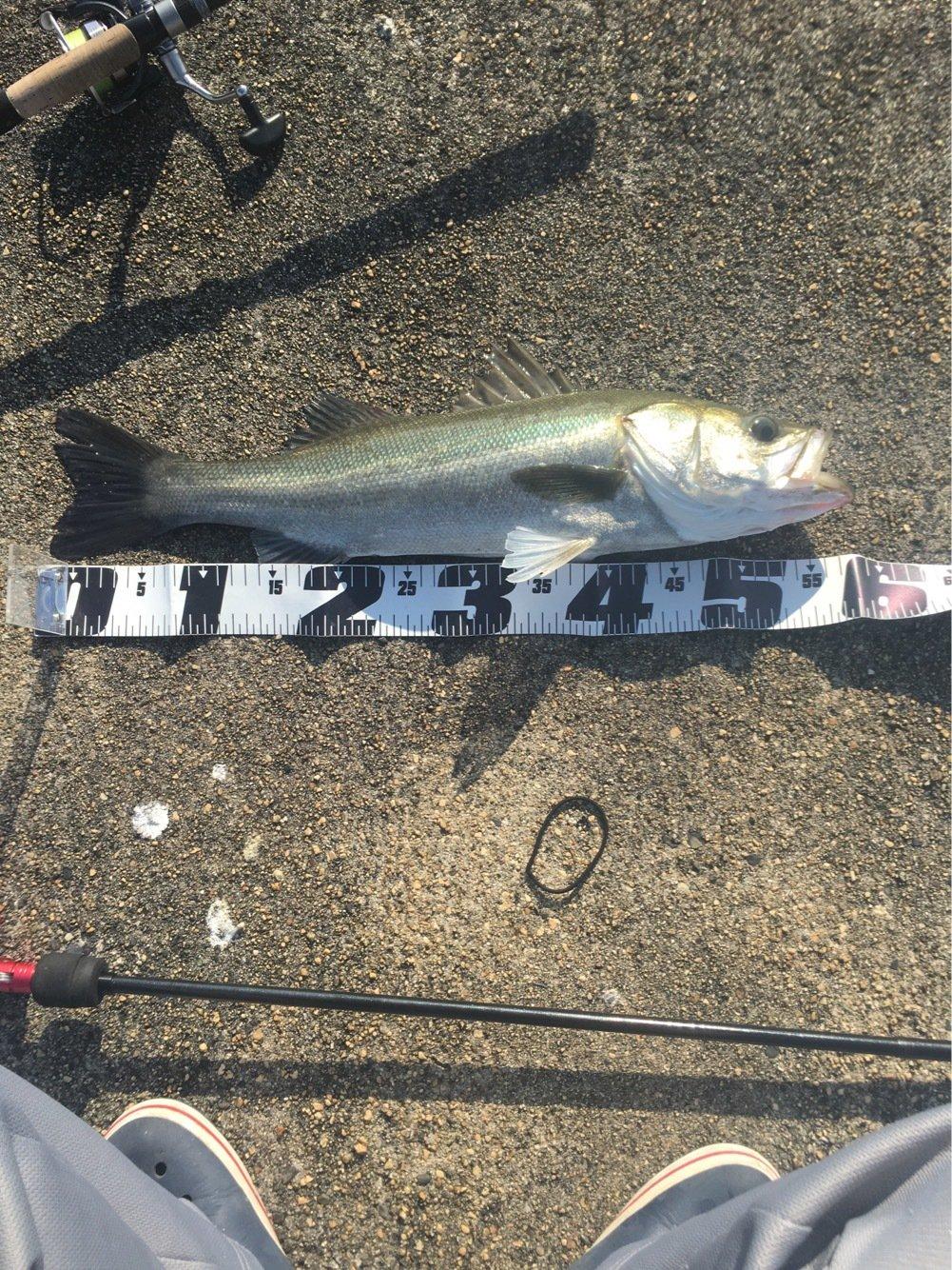 ククルさんの投稿画像,写っている魚はスズキ