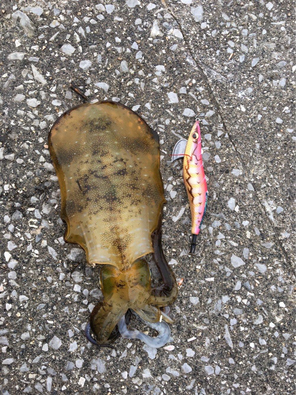 よっしーさんの投稿画像,写っている魚はアオリイカ