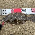 みにすけさんの新潟県でのヒラメの釣果写真