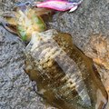 agooumiaRさんの石川県羽咋郡での釣果写真