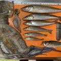 かーずさんの神奈川県横須賀市でのマダコの釣果写真