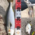 YUUHATSUさんの大阪府でのタチウオの釣果写真