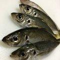 HAYAさんの島根県大田市での釣果写真
