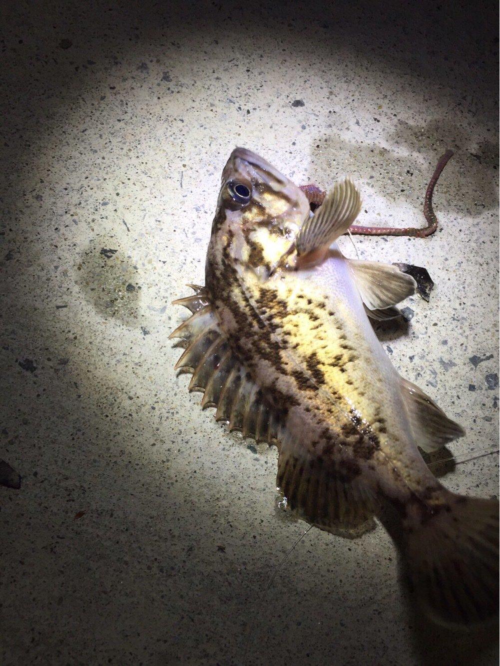 JunBoo_84さんの投稿画像,写っている魚はタケノコメバル