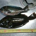 富山の釣り人さんのメジナの釣果写真