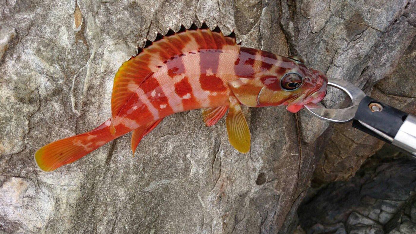 kensukekさんの投稿画像,写っている魚はアカハタ