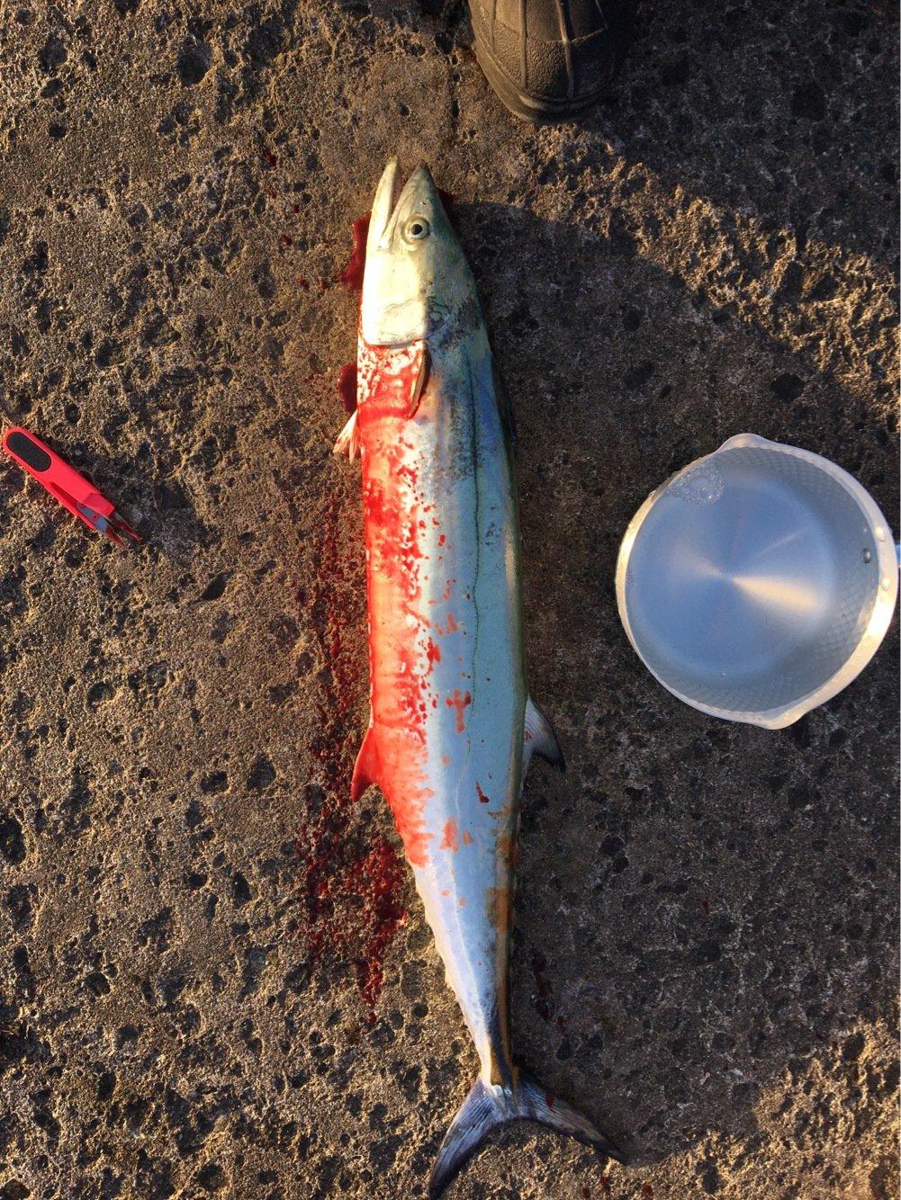 エクイップさんの投稿画像,写っている魚はサワラ