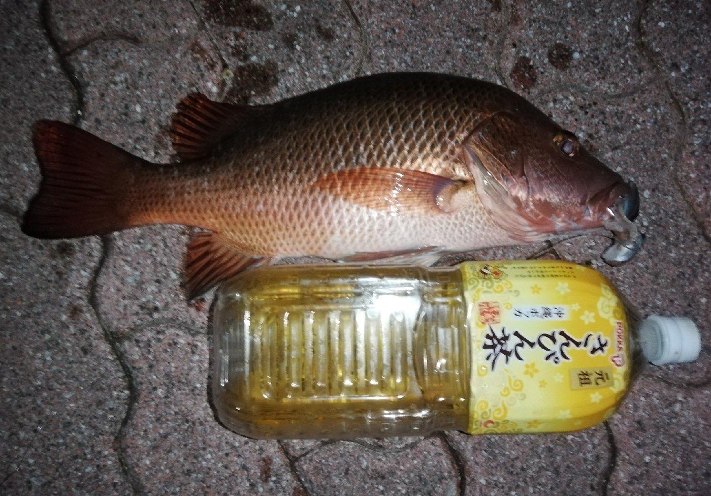 いっせい@働きたくないさんの投稿画像,写っている魚はゴマフエダイ,バラフエダイ