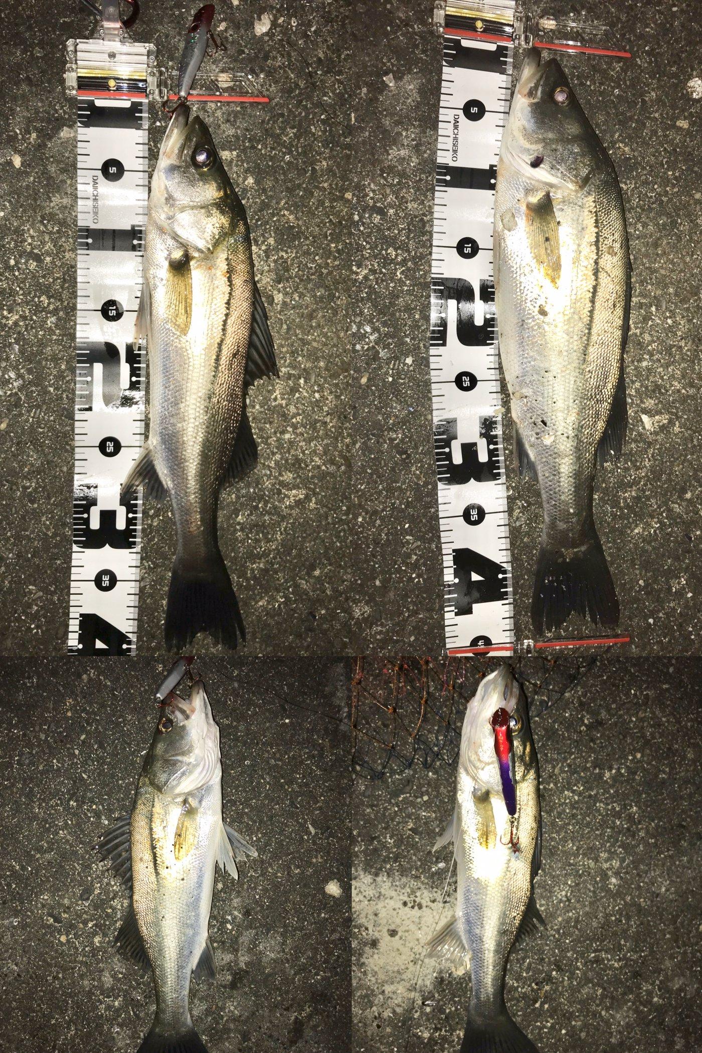 テラざわすさんの投稿画像,写っている魚はスズキ