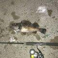 しゃとぺんさんの北海道稚内市での釣果写真