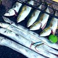 かいさんの神奈川県でのマサバの釣果写真
