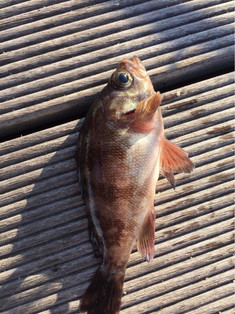 ショシン君さんの投稿画像,写っている魚は