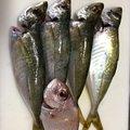 金魚さんの大分県津久見市でのアジの釣果写真