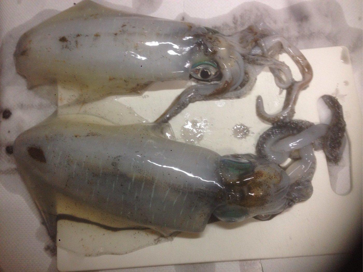 Ñøbüさんの投稿画像,写っている魚はアオリイカ