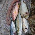 サバイバルさんの鹿児島県薩摩川内市でのカンパチの釣果写真