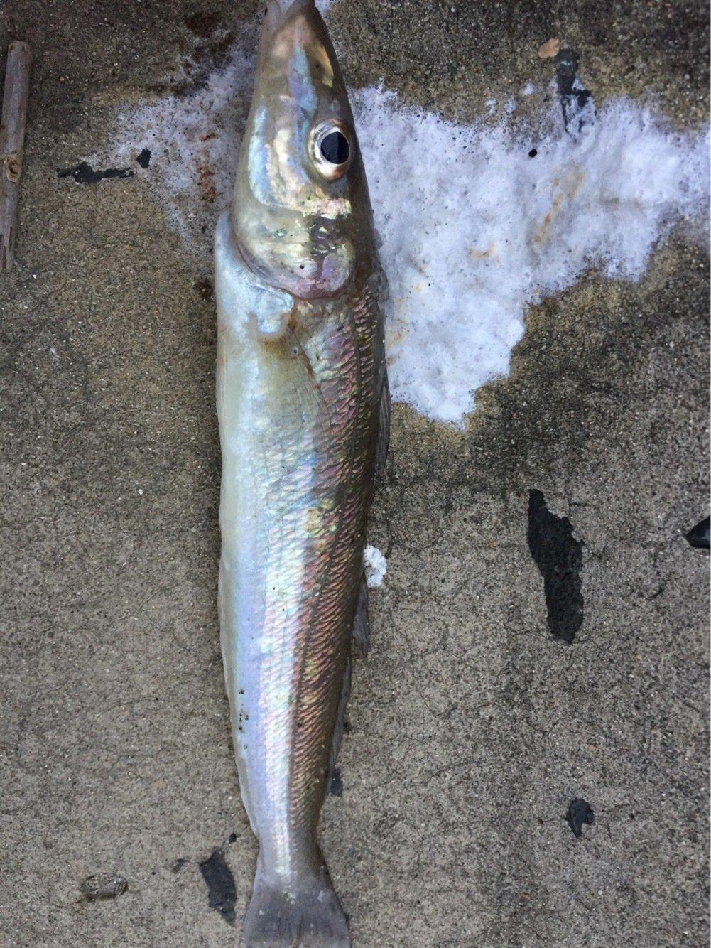 sJimさんの投稿画像,写っている魚はシロギス