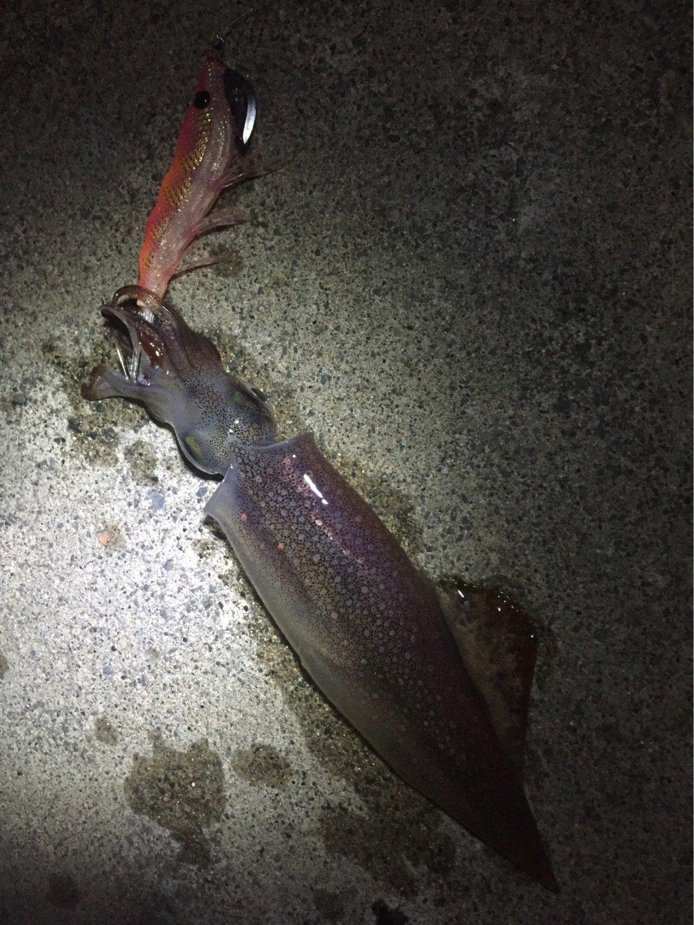 激にぼさんの投稿画像,写っている魚はヤリイカ