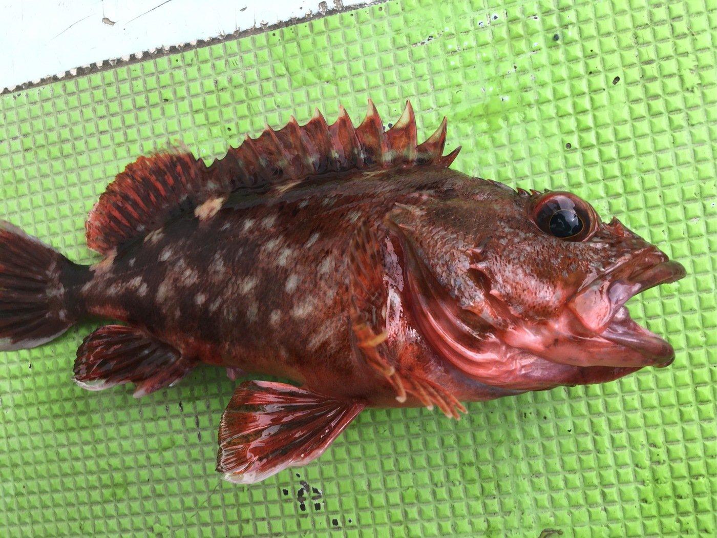 Anglerさんの投稿画像,写っている魚はカサゴ