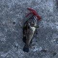 またすけさんの青森県八戸市でのクロソイの釣果写真