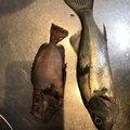 ひとささんの千葉県夷隅郡での釣果写真