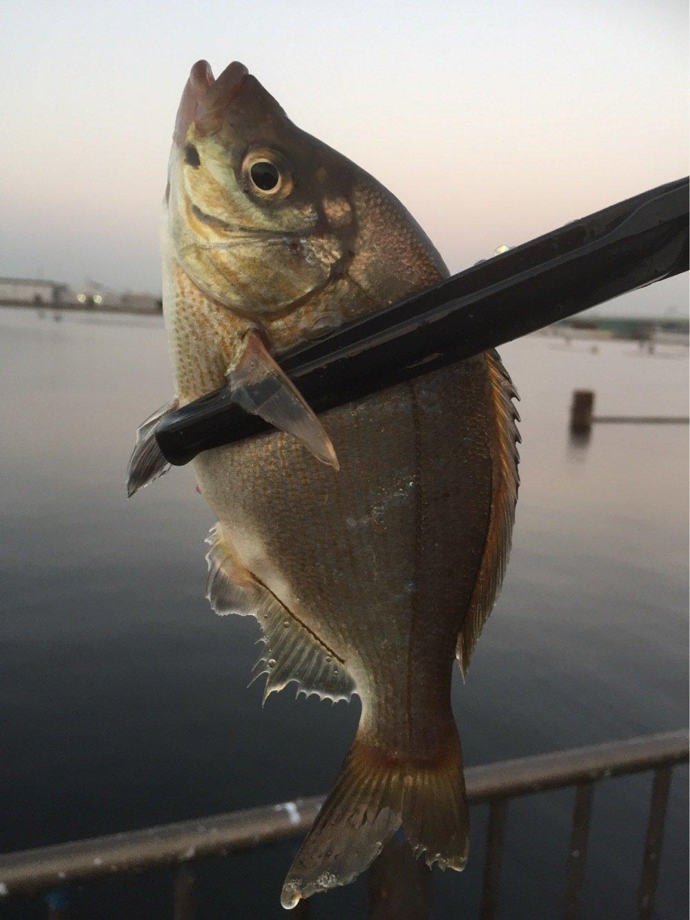 よしなり〜さんの投稿画像,写っている魚はウミタナゴ