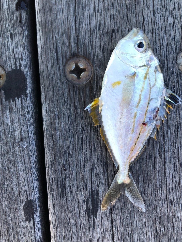 shuntaさんの投稿画像,写っている魚は