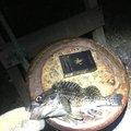むぎちゃんねるさんのキツネメバルの釣果写真