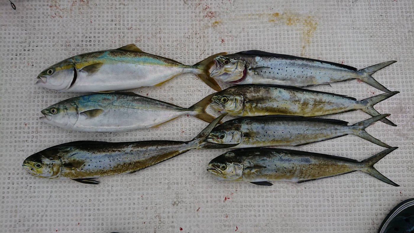 FREESTYLE(おーみ)さんの投稿画像,写っている魚はワラサ,シイラ