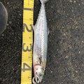 びーと釣り部 ぴーちゃんさんの大分県臼杵市でのサワラの釣果写真
