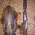 スーさんさんの新潟県糸魚川市でのアオリイカの釣果写真