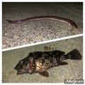 万年釣り好きさんの山口県宇部市での釣果写真