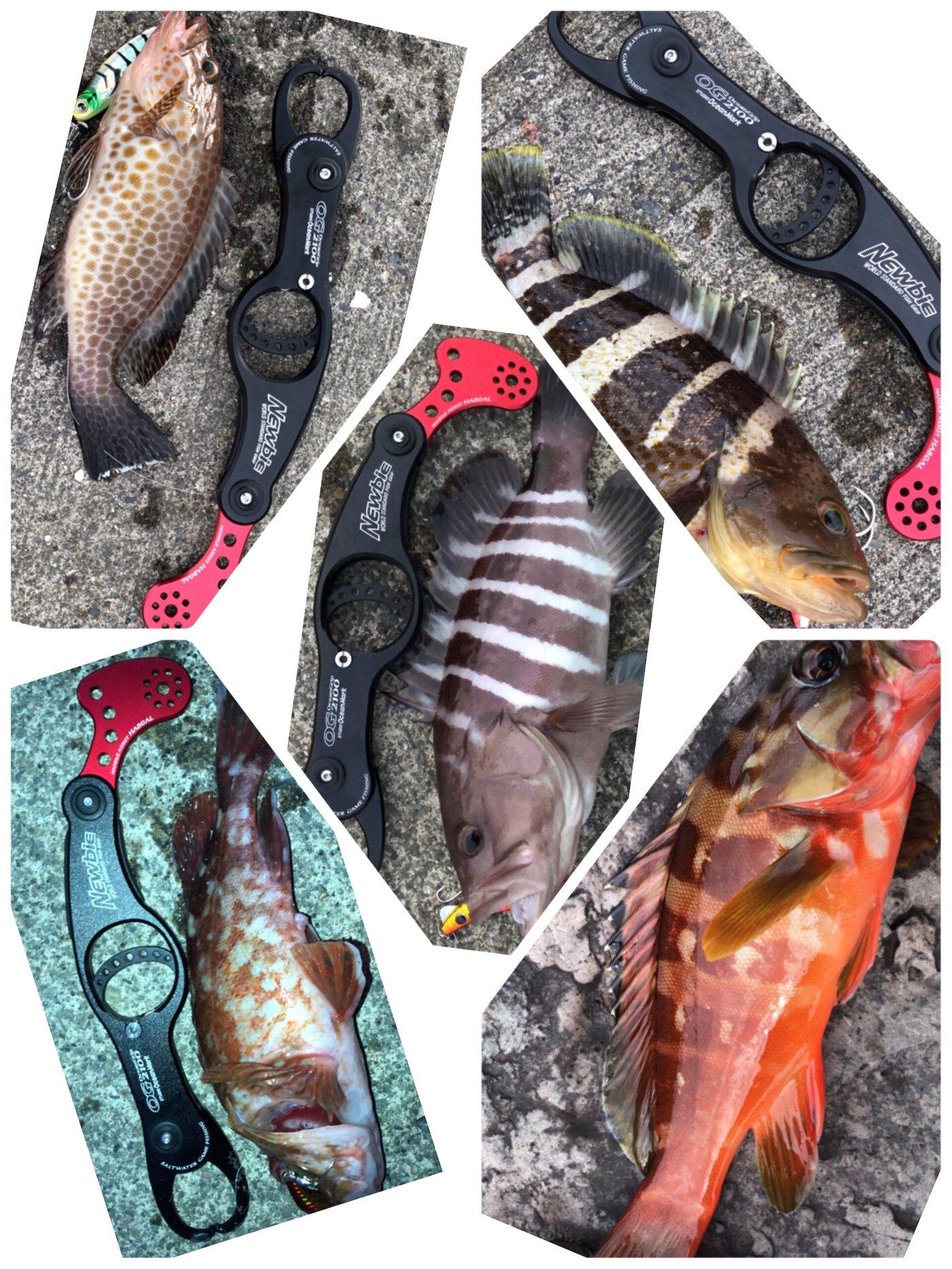たこたかさんの投稿画像,写っている魚はマハタ,アオハタ,オオモンハタ,アカハタ,カサゴ
