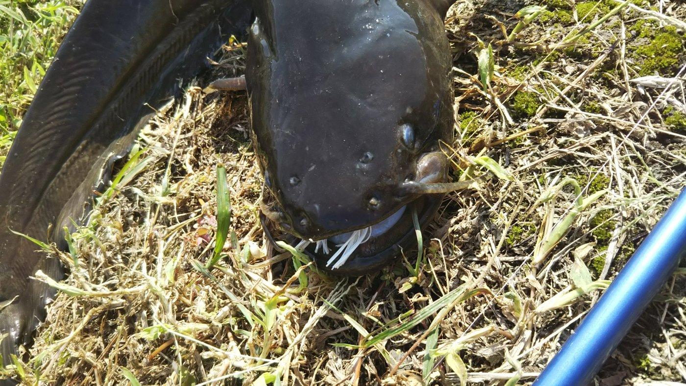 ( ^-^)ノ∠※。.:*:・さんの投稿画像,写っている魚はナマズ