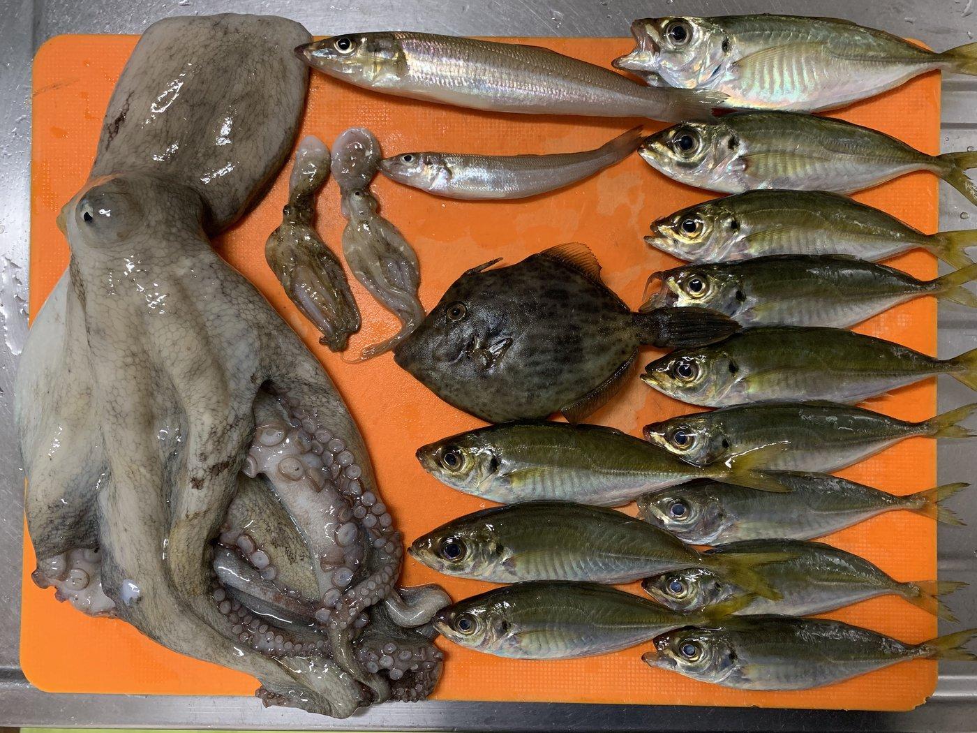 かーずさんの投稿画像,写っている魚はマダコ,イイダコ,カワハギ,シロギス,アジ
