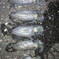 こーきさんの千葉県富津市での釣果写真
