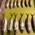 りっくんさんの千葉県千葉市でのアジの釣果写真