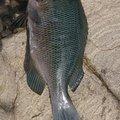 katsu.yamaさんのメジナの釣果写真