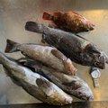 またすけさんの青森県三戸郡でのカサゴの釣果写真