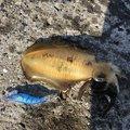 ミゾケンガーさんの長崎県でのアオリイカの釣果写真