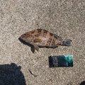 ゆきちさんの鹿児島県出水郡での釣果写真
