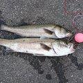 キマグレンさんの新潟県北蒲原郡での釣果写真