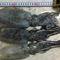 もんざえもんさんの新潟県北蒲原郡での釣果写真