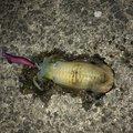 Shuさんの鹿児島県でのアオリイカの釣果写真