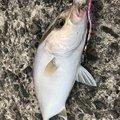 Udmanさんの鹿児島県いちき串木野市での釣果写真