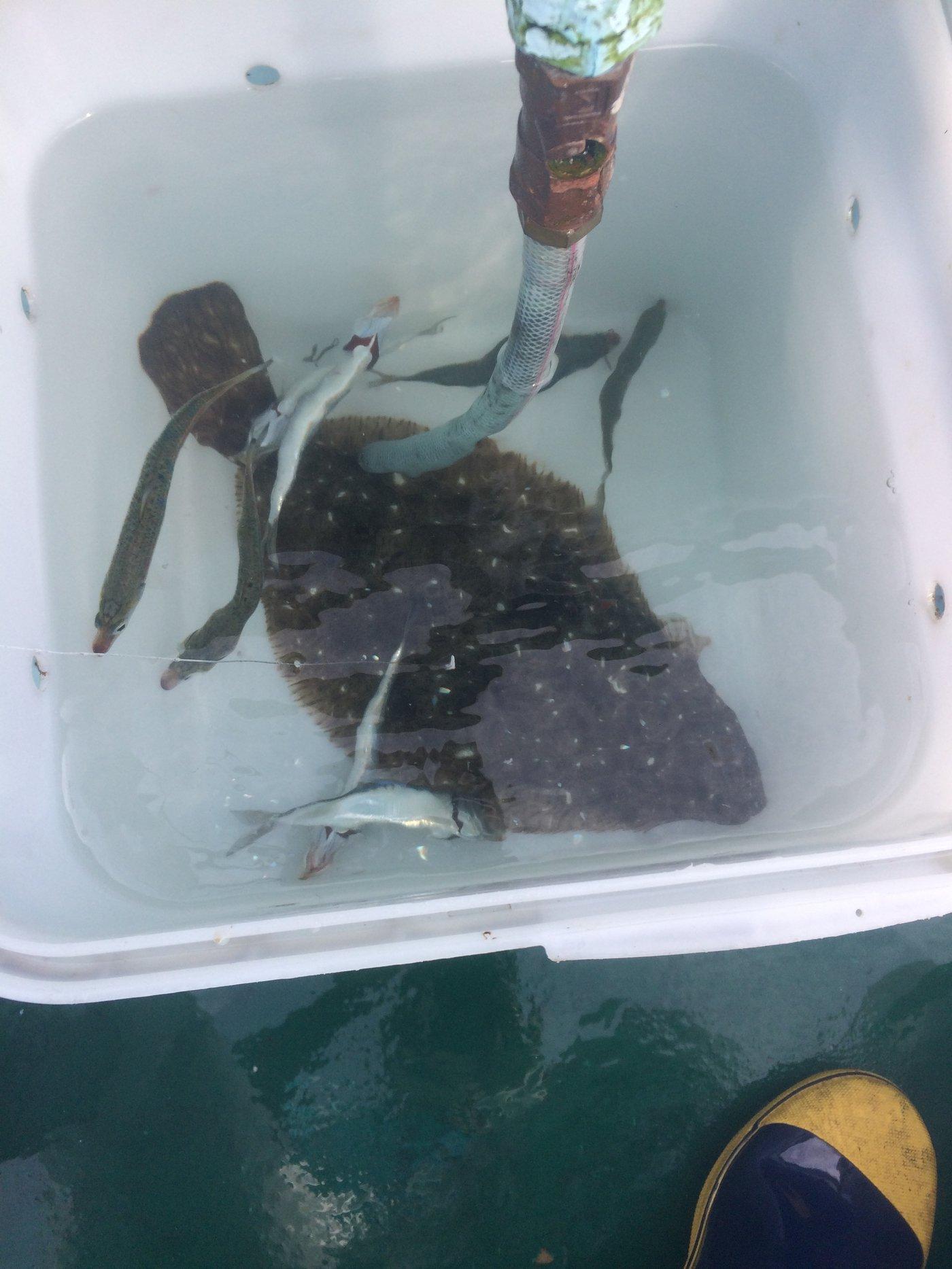 ゆうたさんの投稿画像,写っている魚はヒラメ