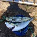 ハルワカパパさんのシイラの釣果写真