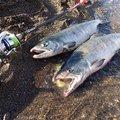 Hirotoさんのサケの釣果写真