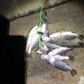 かっ飛び棒さんの宮城県東松島市での釣果写真