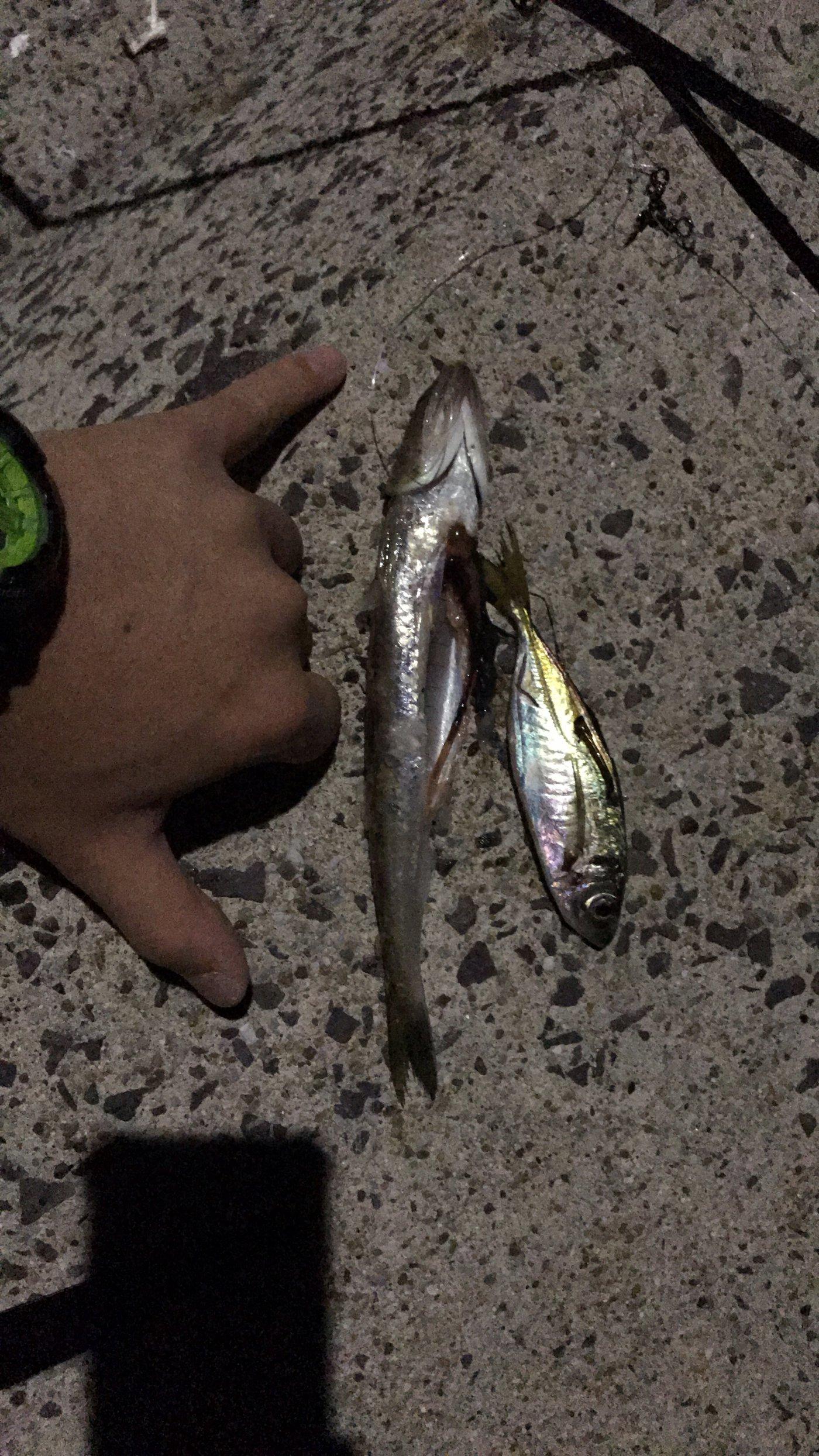 拓ニャンさんの投稿画像,写っている魚はエソ,アジ,アナゴ